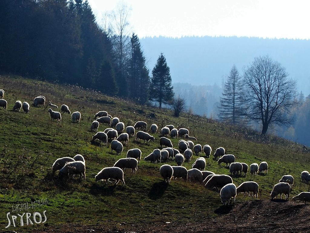 Spišská Magura - ovečky