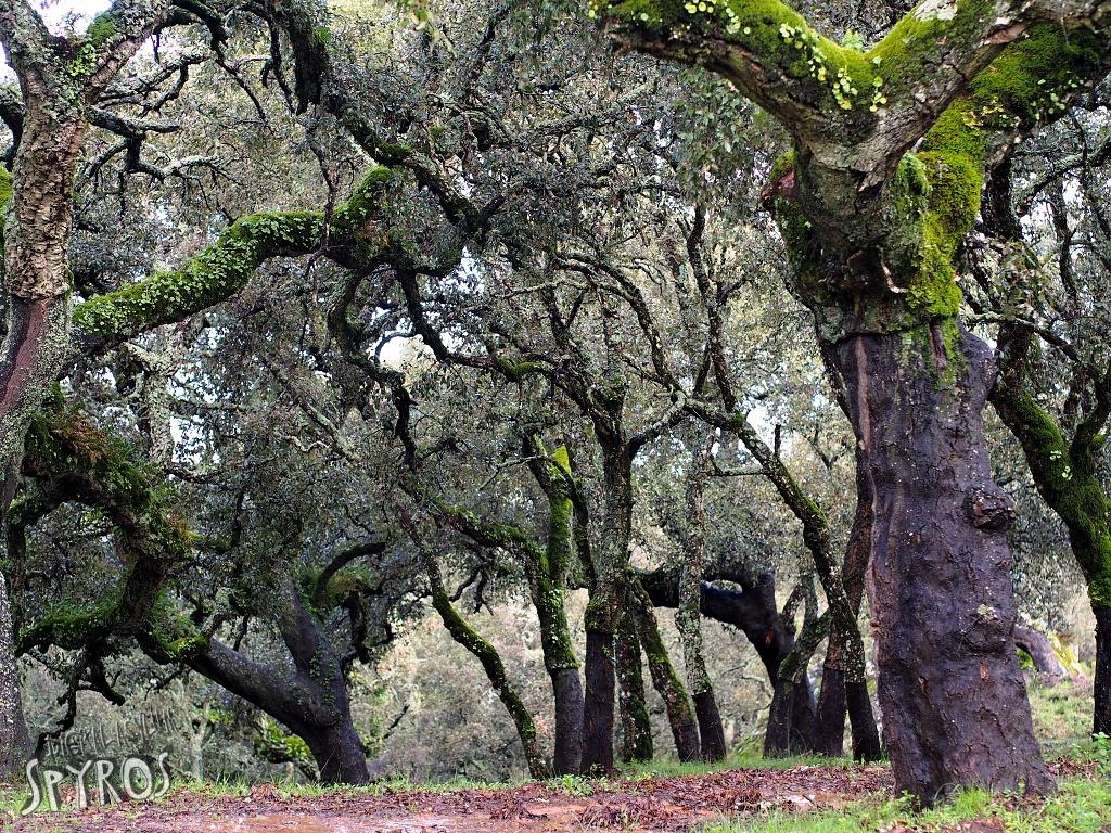 Cork oaks from Los Alcornocales