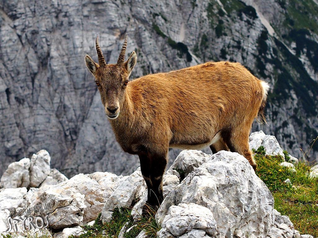 Alpski kozorog